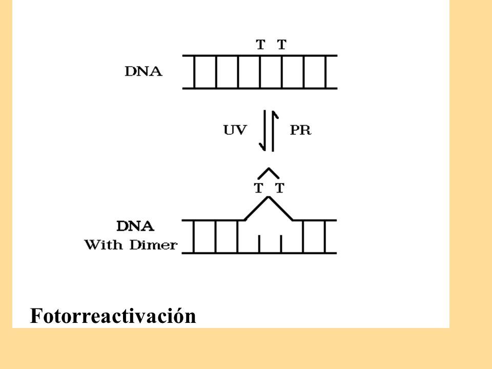 Fotorreactivación
