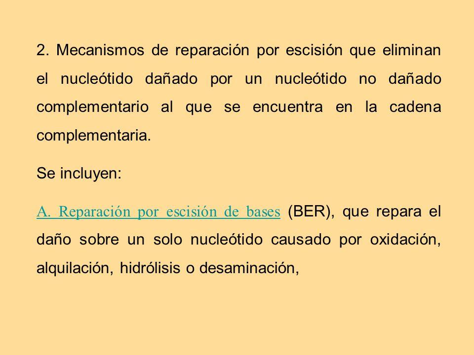 2. Mecanismos de reparación por escisión que eliminan el nucleótido dañado por un nucleótido no dañado complementario al que se encuentra en la cadena