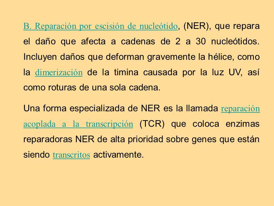 B. Reparación por escisión de nucleótido B. Reparación por escisión de nucleótido, (NER), que repara el daño que afecta a cadenas de 2 a 30 nucleótido