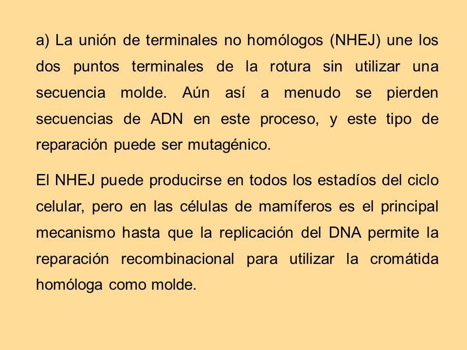a) La unión de terminales no homólogos (NHEJ) une los dos puntos terminales de la rotura sin utilizar una secuencia molde. Aún así a menudo se pierden