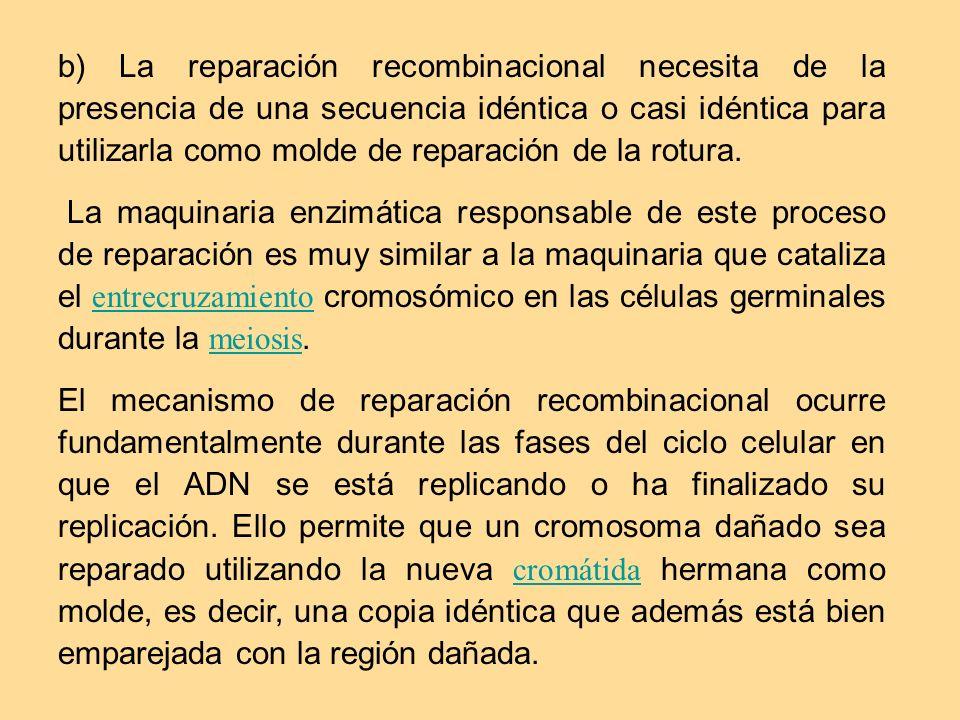 b) La reparación recombinacional necesita de la presencia de una secuencia idéntica o casi idéntica para utilizarla como molde de reparación de la rot