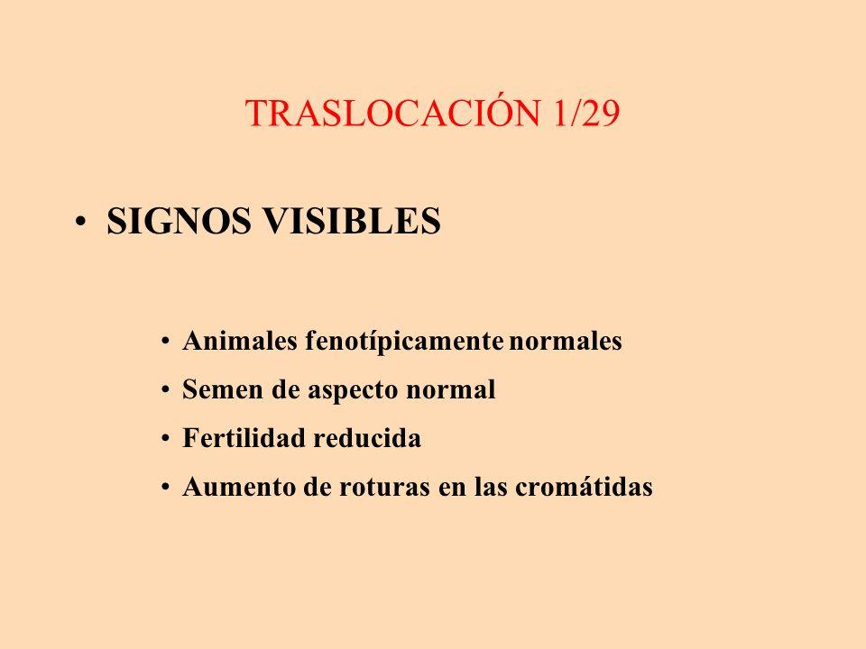 TRASLOCACIÓN 1/29 SIGNOS VISIBLES Animales fenotípicamente normales Semen de aspecto normal Fertilidad reducida Aumento de roturas en las cromátidas