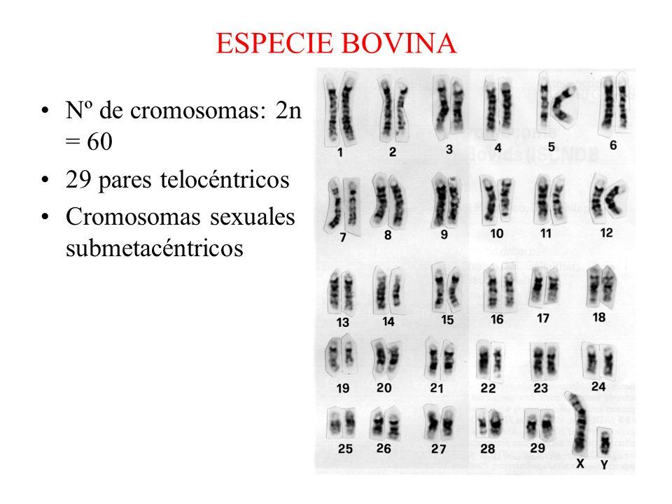ESPECIE BOVINA Nº de cromosomas: 2n = 60 29 pares telocéntricos Cromosomas sexuales submetacéntricos