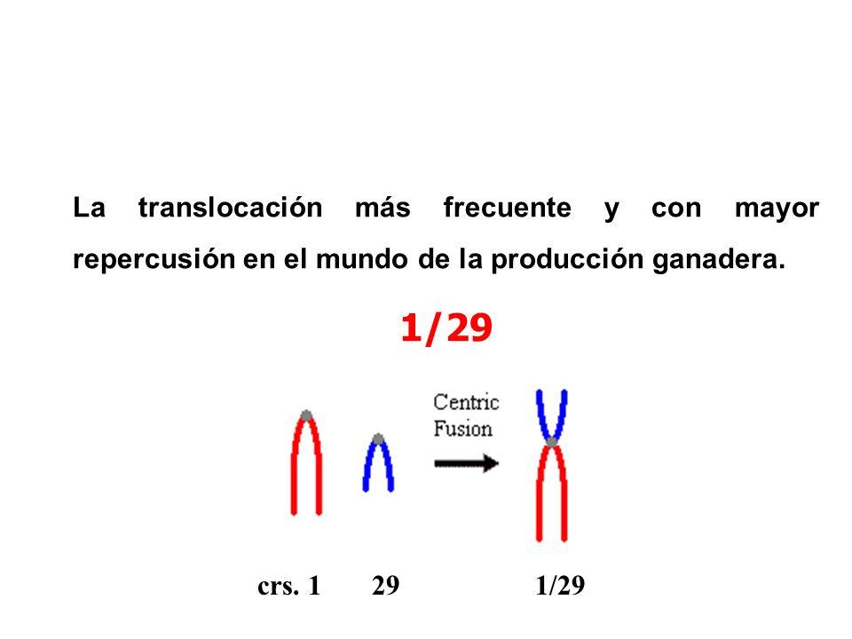 La translocación más frecuente y con mayor repercusión en el mundo de la producción ganadera. 1/29 crs. 1 29 1/29