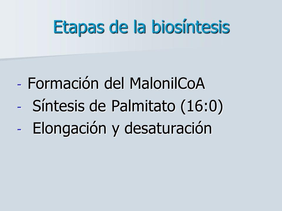 Etapas de la biosíntesis - Formación del MalonilCoA - Síntesis de Palmitato (16:0) - Elongación y desaturación