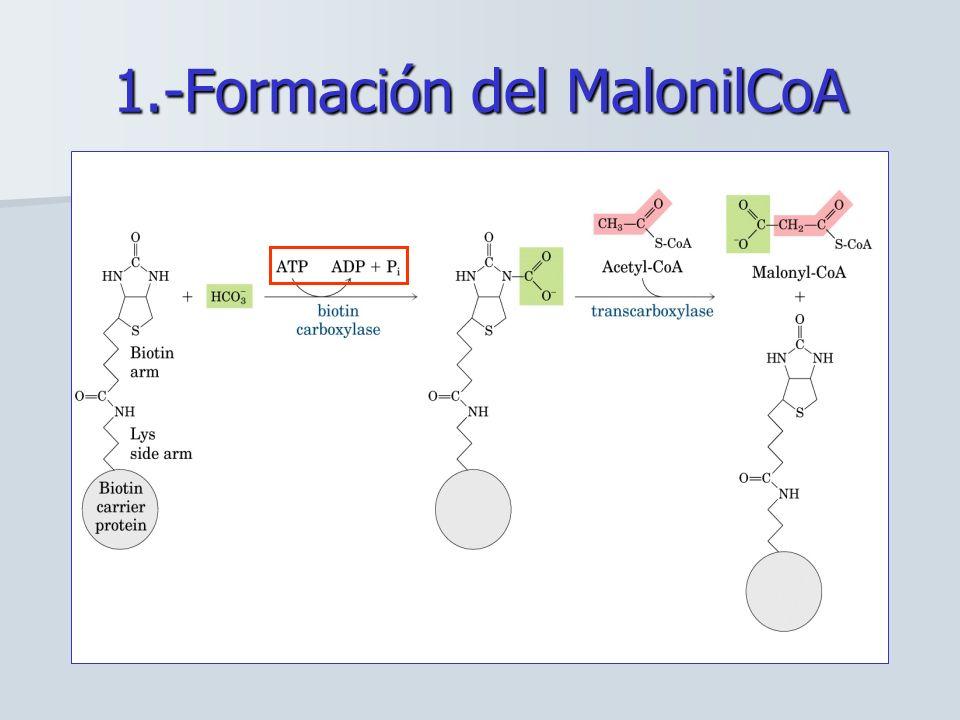 1.-Formación del MalonilCoA