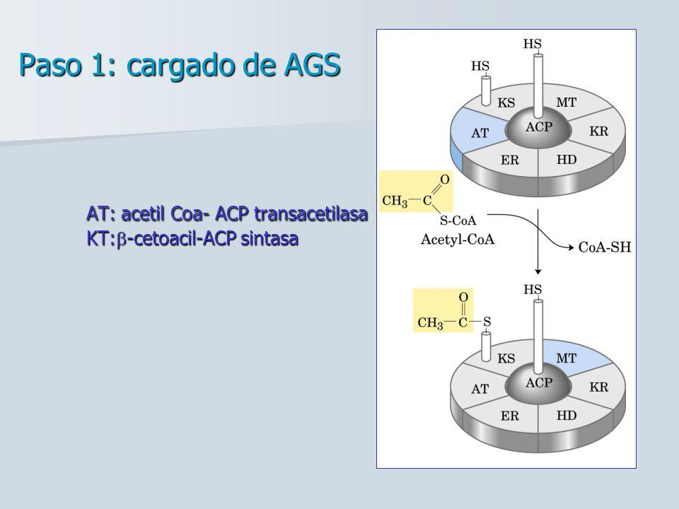 Paso 1: cargado de AGS AT: acetil Coa- ACP transacetilasa KT: -cetoacil-ACP sintasa