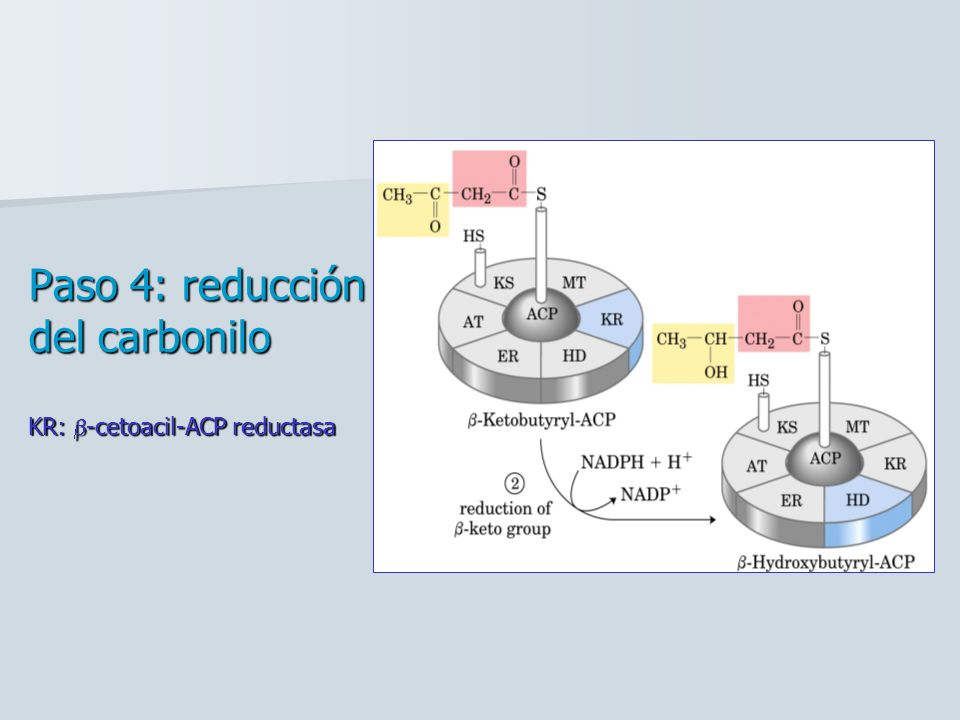 Paso 4: reducción del carbonilo KR: -cetoacil-ACP reductasa