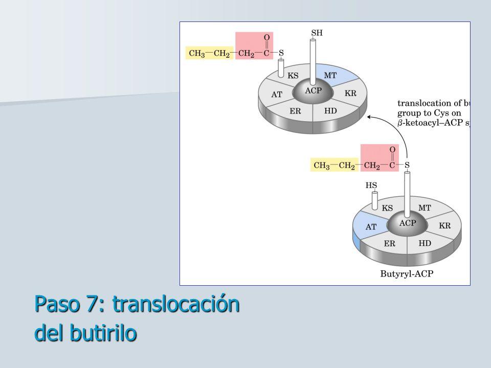 Paso 7: translocación del butirilo