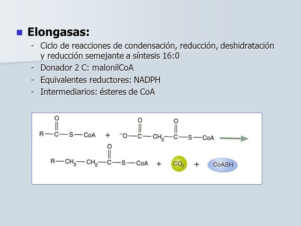Elongasas: Elongasas: -Ciclo de reacciones de condensación, reducción, deshidratación y reducción semejante a síntesis 16:0 -Donador 2 C: malonilCoA -Equivalentes reductores: NADPH -Intermediarios: ésteres de CoA