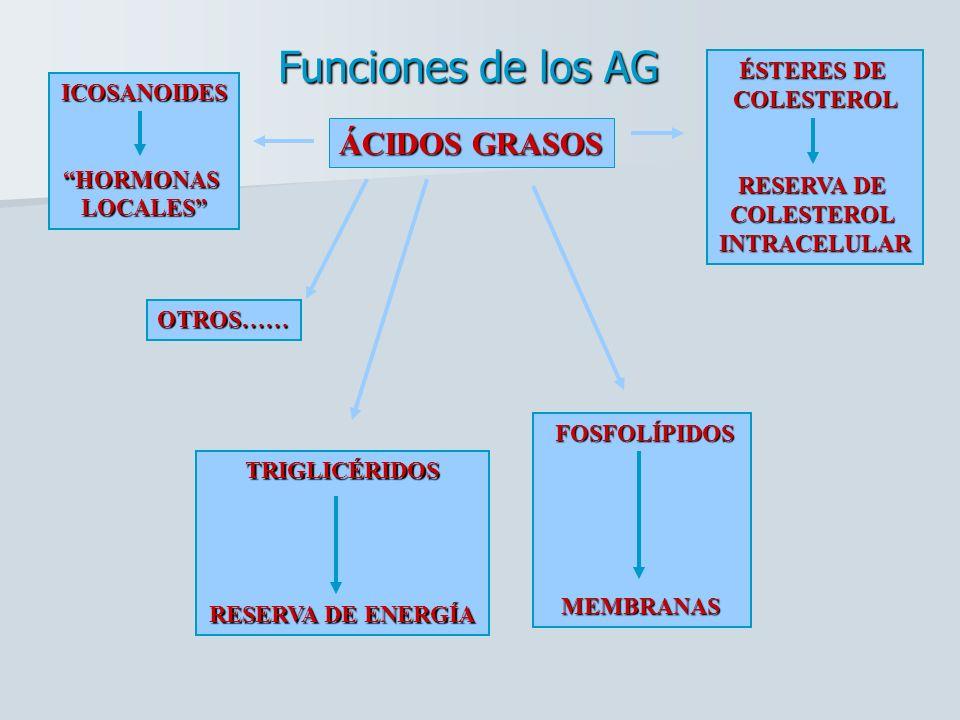 ÁCIDOS GRASOS TRIGLICÉRIDOS RESERVA DE ENERGÍA FOSFOLÍPIDOS FOSFOLÍPIDOS MEMBRANAS MEMBRANAS OTROS…… ICOSANOIDESHORMONASLOCALES ÉSTERES DE COLESTEROL RESERVA DE COLESTEROLINTRACELULAR Funciones de los AG