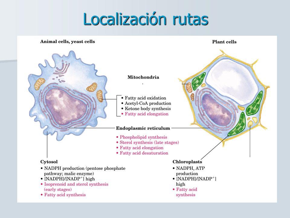 REGULACIÓN DEL METABOLISMO DE ÁCIDOS GRASOS REGULACIÓN DE LA ACTIVIDAD DE LA Acetil CoA- Carboxilasa Regula la síntesis de AG REGULACIÓN DE LA Triacilglicerol lipasa Regula la movilización de la grasa de reserva REGULACIÓN DE LA Acilcarnitina transferasa I Regula el transporte de AG a la mitocondria CORTO PLAZO LARGO PLAZO Moduladores de síntesis de las enzimas: Glucagón Insulina Leptina (en T.Adiposo) Dieta (Azúcares/Grasa) Fosforilación Efectos Alostéricos Malonil-CoA (-) Glucagón Insulina Palmitoeil-CoA (-) Modificación covalente Citrato (+)
