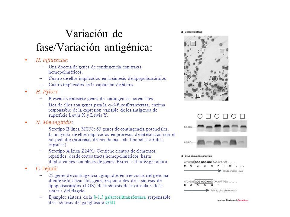 Variación de fase/Variación antigénica: H. influenzae: –Una docena de genes de contingencia con tracts homopoliméricos. –Cuatro de ellos implicados en