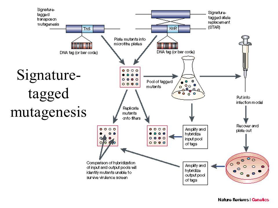 Signature- tagged mutagenesis