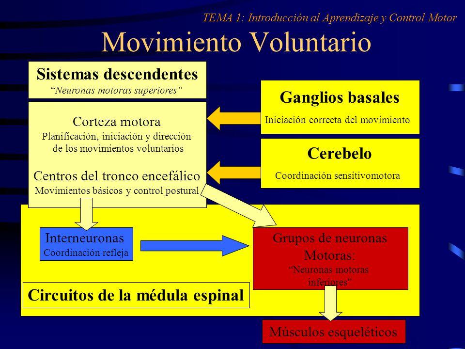 Movimiento Voluntario Sistemas descendentes Neuronas motoras superiores Corteza motora Planificación, iniciación y dirección de los movimientos volunt