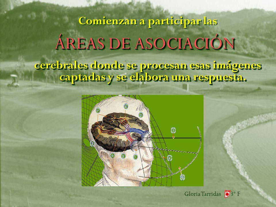 Gloria Tarridas 3º F ÁREAS DE ASOCIACIÓN Comienzan a participar las cerebrales donde se procesan esas imágenes captadas y se elabora una respuesta.