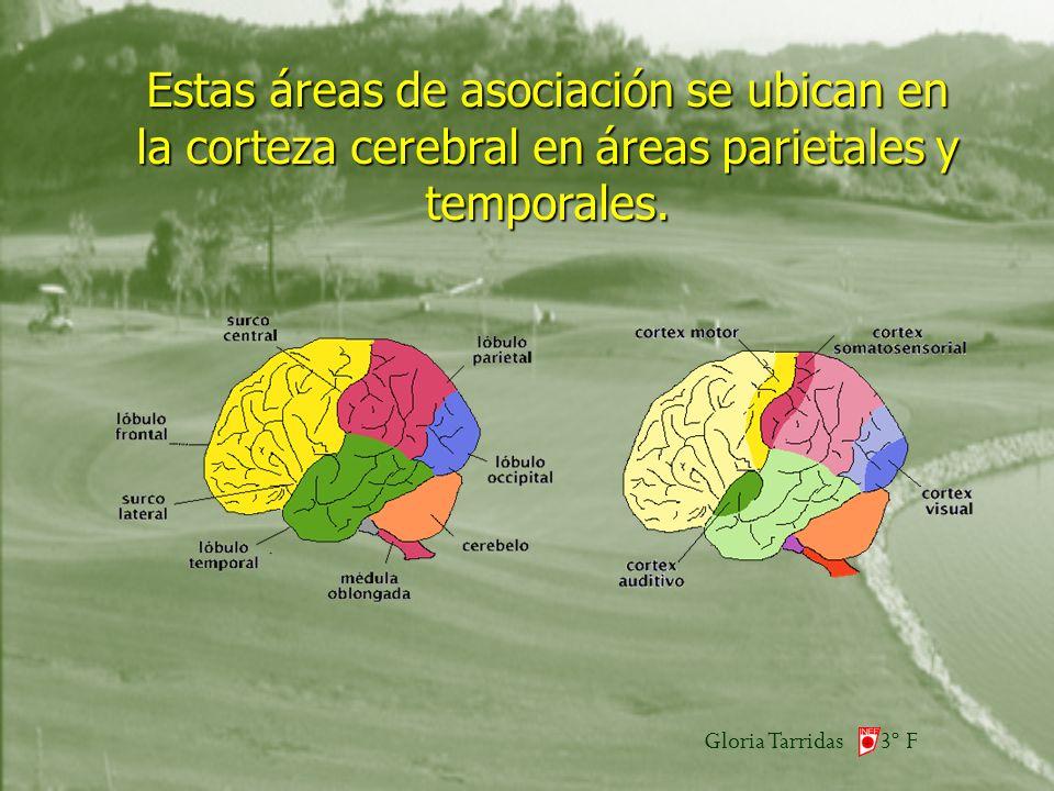 Gloria Tarridas 3º F Estas áreas de asociación se ubican en la corteza cerebral en áreas parietales y temporales.