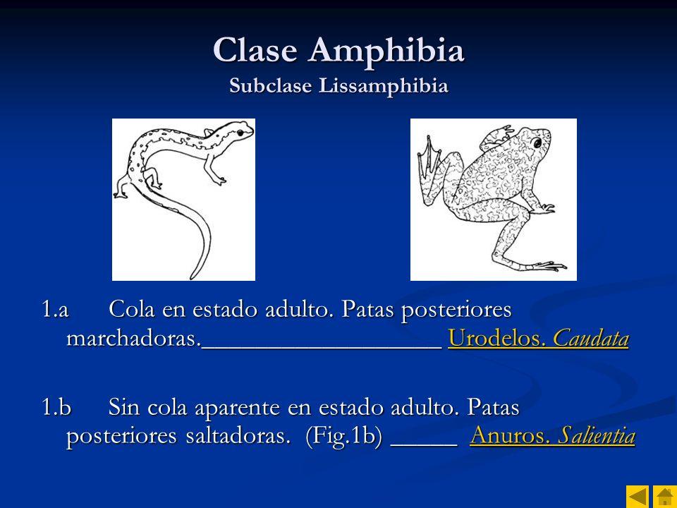 Salamandra salamandra Orden Caudata. Familia Salamandridae Salamandra común