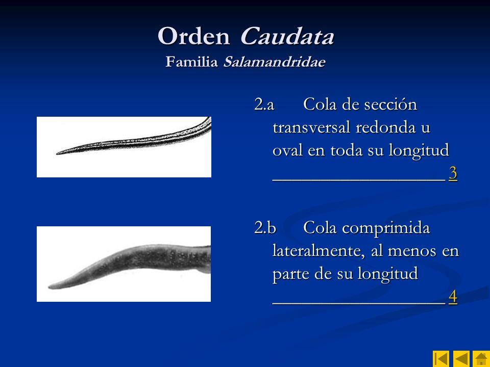 Orden Caudata Familia Salamandridae 3.aCola muy larga, entre 1.5 y 2 veces más larga que el resto del cuerpo _____________ _________ Chioglossa lusitanicaChioglossa lusitanica 3.bCola de longitud similar a la del resto del cuerpo.