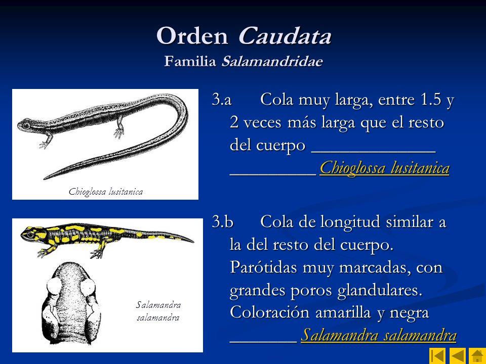 Orden Caudata Familia Salamandridae 4.a Costados presentando longitudinalmente una serie de protuberancias correspondientes al extremo de las costillas.