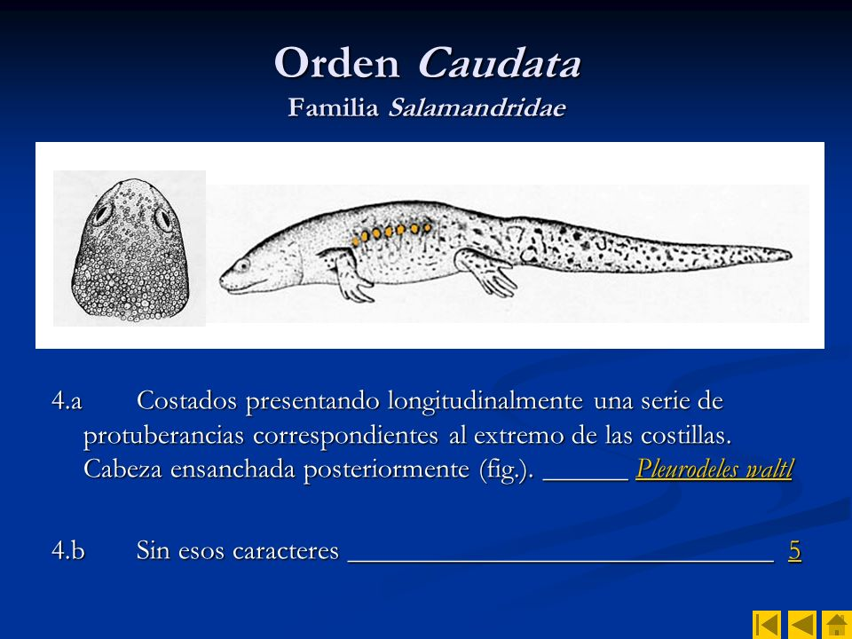 Orden Salientia Familia Bufonidae 25.aColoración con manchas rojizas o parduzcas de contorno bien definido __ Bufo mauritanicusBufo mauritanicus 25.bColoración uniforme o con manchas poco definidas.
