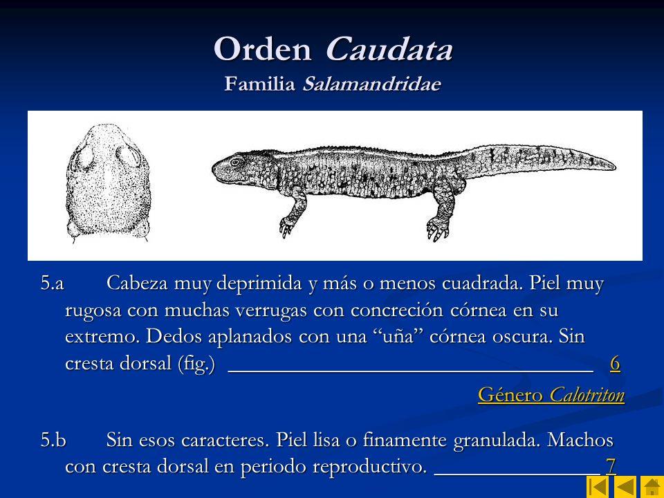 Orden Caudata Familia Salamandridae 6.a Línea dorsal ancha y amarilla, desde la cabeza al extremo caudal (sobre todo en juveniles) (fig.