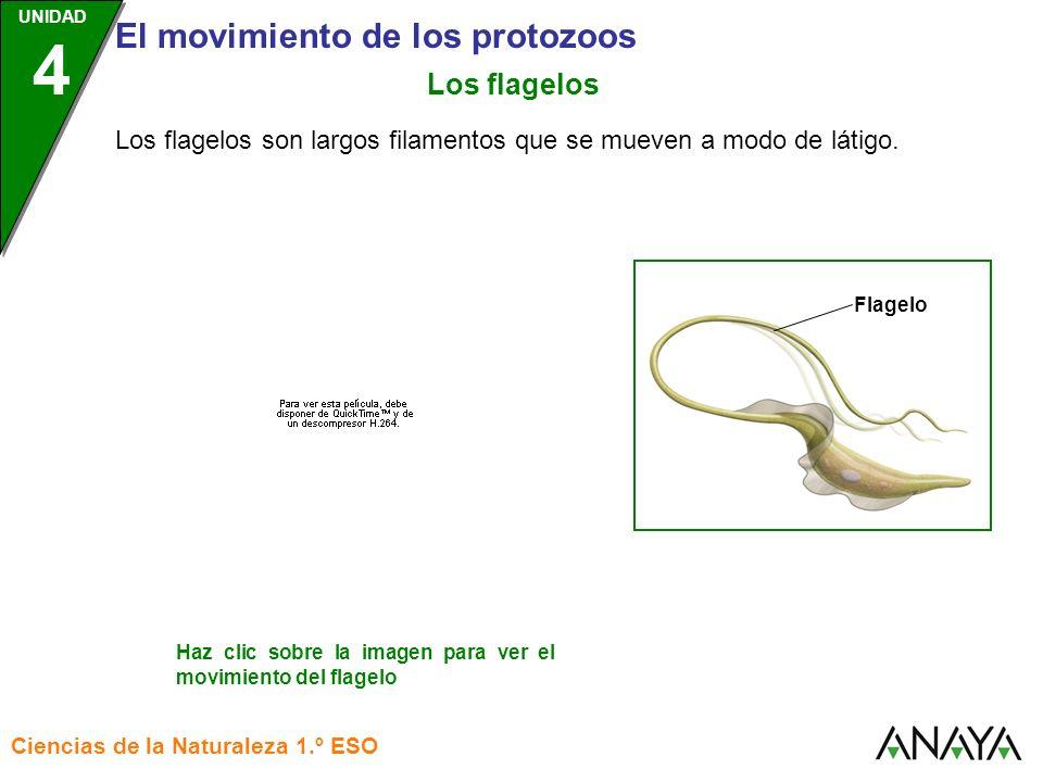 UNIDAD 3 El movimiento de los protozoos Ciencias de la Naturaleza 1.º ESO UNIDAD 4 Los flagelos son largos filamentos que se mueven a modo de látigo.