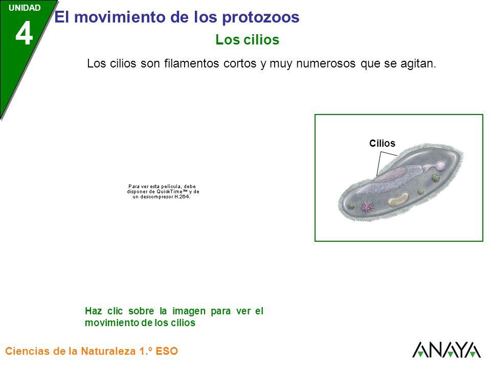 UNIDAD 3 El movimiento de los protozoos Ciencias de la Naturaleza 1.º ESO UNIDAD 4 Los protozoos utilizan diferentes mecanismos para desplazarse: Los flagelos Los seudópodos Flagelo Pseudópodo s Cilios Los cilios