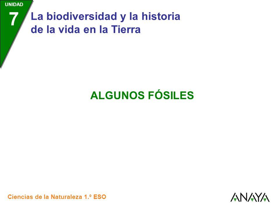 UNIDAD 3 Ciencias de la Naturaleza 1.º ESO UNIDAD 7 Algunos fósiles Los fósiles son también señales de la actividad de los seres vivos que quedaron enterradas entre las rocas, como, por ejemplo: Las huellas fosilizadas de dinosaurios o icnitas.