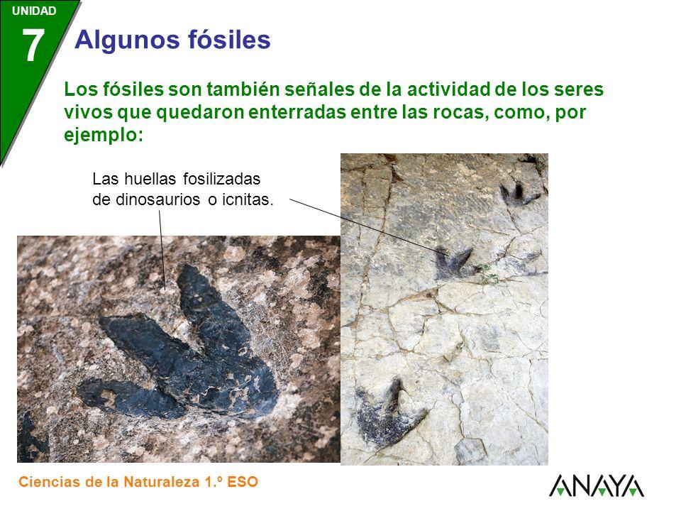 UNIDAD 3 Ciencias de la Naturaleza 1.º ESO UNIDAD 7 Algunos fósiles Los fósiles son también señales de la actividad de los seres vivos que quedaron en