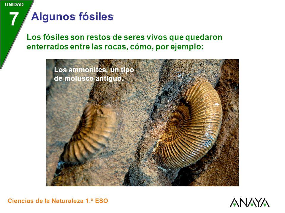 UNIDAD 3 Ciencias de la Naturaleza 1.º ESO UNIDAD 7 Algunos fósiles Los fósiles son restos de seres vivos que quedaron enterrados entre las rocas, cómo, por ejemplo: El archaeopteryx, primer tipo de ave conocido Ala