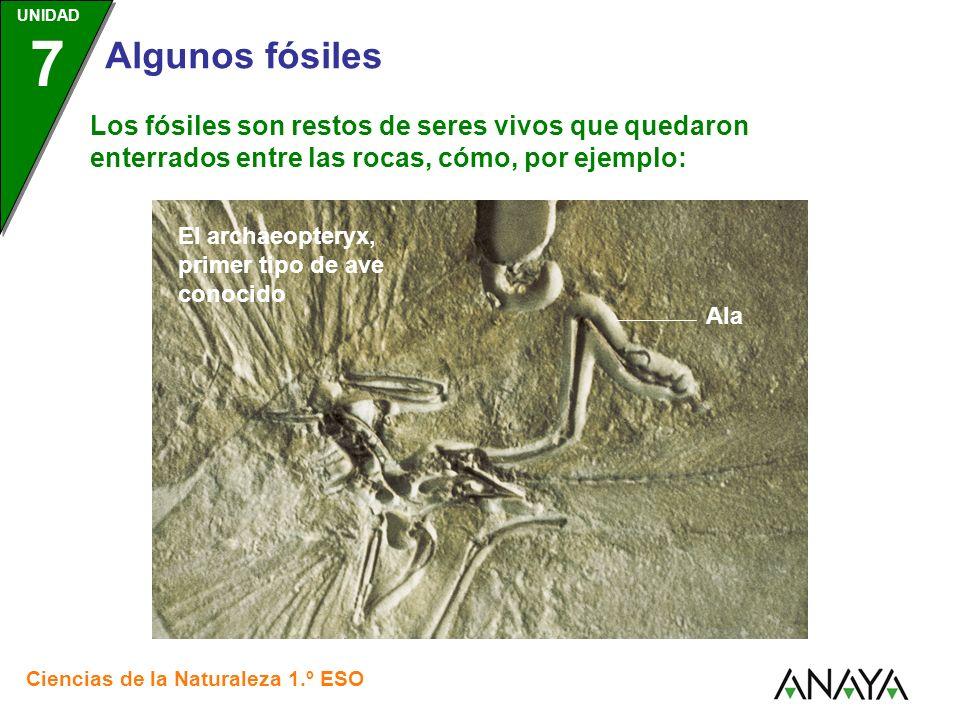 UNIDAD 3 Ciencias de la Naturaleza 1.º ESO UNIDAD 7 Algunos fósiles Los fósiles son restos de seres vivos que quedaron enterrados entre las rocas, cómo, por ejemplo: Los braquiopodos, invertebrados con dos valvas: una ventral y otra dorsal.