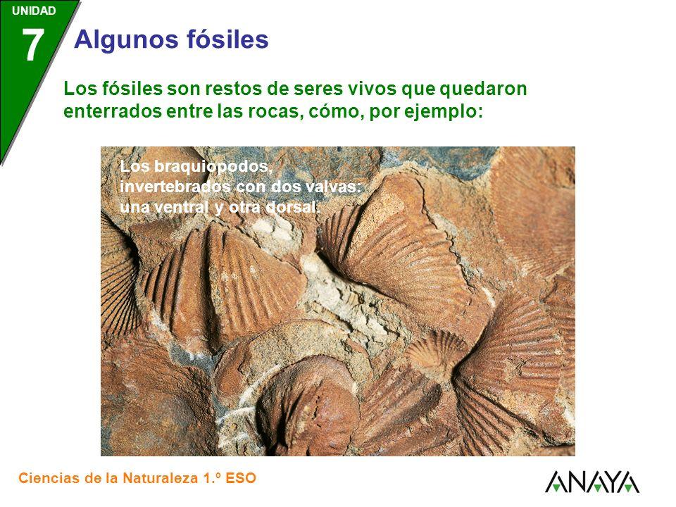 UNIDAD 3 Ciencias de la Naturaleza 1.º ESO UNIDAD 7 Algunos fósiles Los fósiles son restos de seres vivos que quedaron enterrados entre las rocas, cómo, por ejemplo: Los trilobites, un tipo de artrópodo