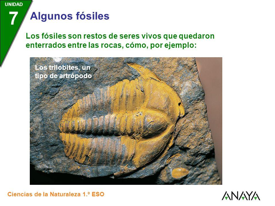 UNIDAD 3 Ciencias de la Naturaleza 1.º ESO UNIDAD 7 Algunos fósiles Los fósiles son restos de seres vivos que quedaron enterrados entre las rocas, cómo, por ejemplo: Esta cabeza de pez