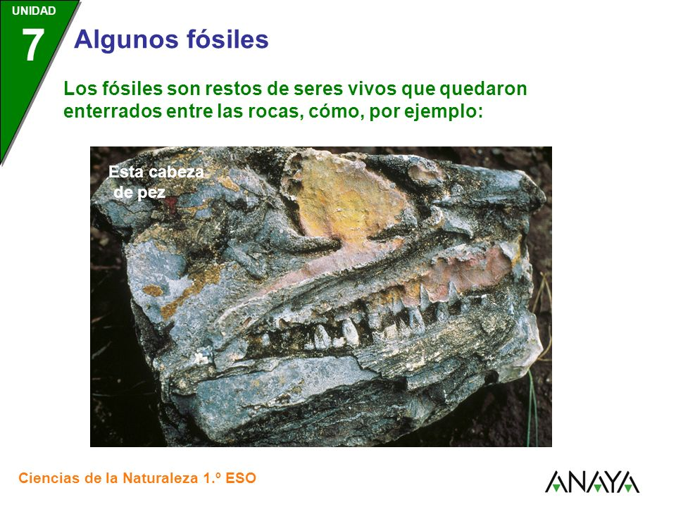 UNIDAD 3 Ciencias de la Naturaleza 1.º ESO UNIDAD 7 Algunos fósiles Los fósiles son restos de seres vivos que quedaron enterrados entre las rocas, cómo, por ejemplo: Esta cría de hadrosaurio, un tipo de dinosaurio