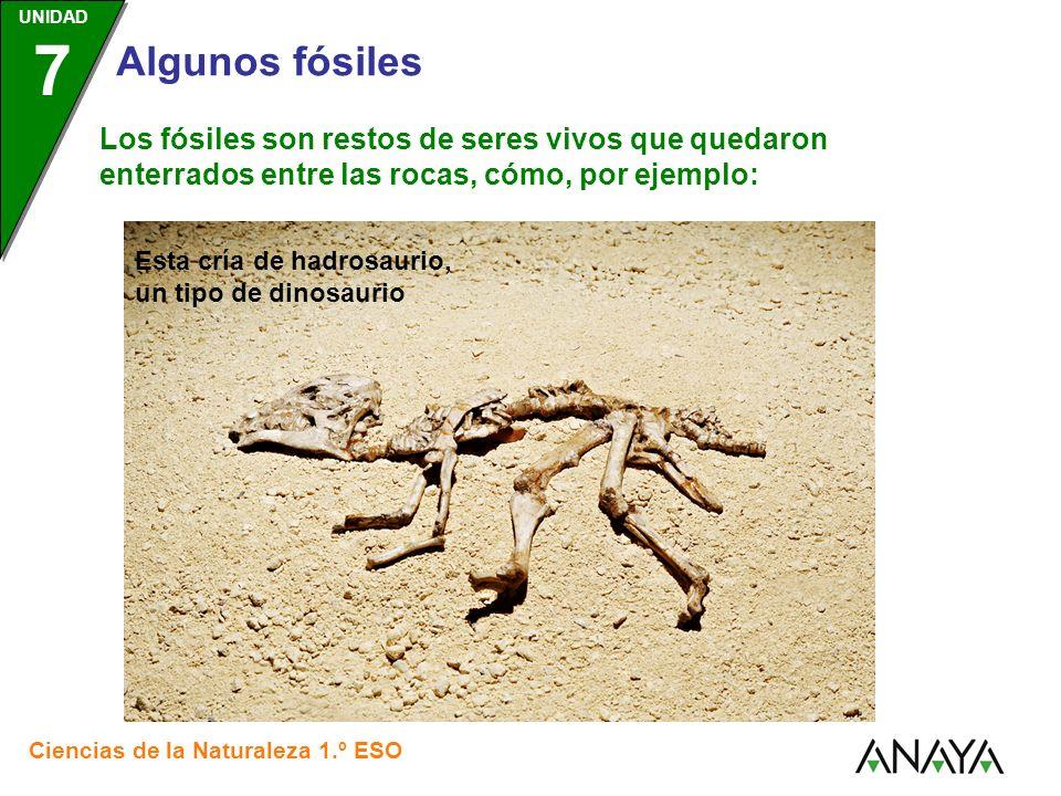 UNIDAD 3 Ciencias de la Naturaleza 1.º ESO UNIDAD 7 Algunos fósiles Los fósiles son restos de seres vivos que quedaron enterrados entre las rocas, cómo, por ejemplo: Este esqueleto de psittacosauros, un tipo de dinosaurio del tamaño de una gacela.