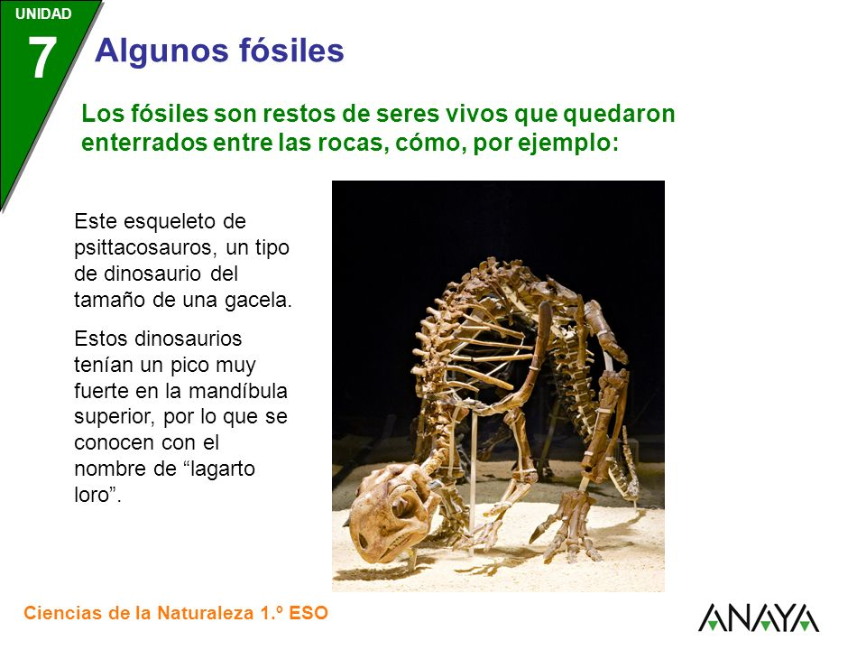UNIDAD 3 Ciencias de la Naturaleza 1.º ESO UNIDAD 7 Algunos fósiles Los fósiles son restos de seres vivos que quedaron enterrados entre las rocas, cómo, por ejemplo: Estos restos de un árbol fosilizado.