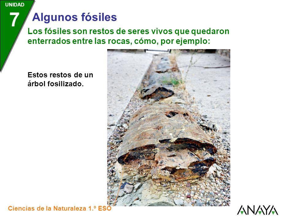 UNIDAD 3 Ciencias de la Naturaleza 1.º ESO UNIDAD 7 Algunos fósiles Los fósiles son restos de seres vivos que quedaron enterrados entre las rocas, cómo, por ejemplo: Esta hoja