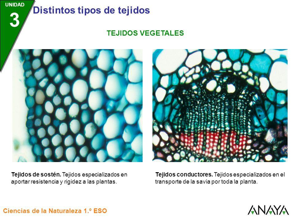 UNIDAD 3 Distintos tipos de tejidos Ciencias de la Naturaleza 1.º ESO UNIDAD 3 Tejidos conductores. Tejidos especializados en el transporte de la savi