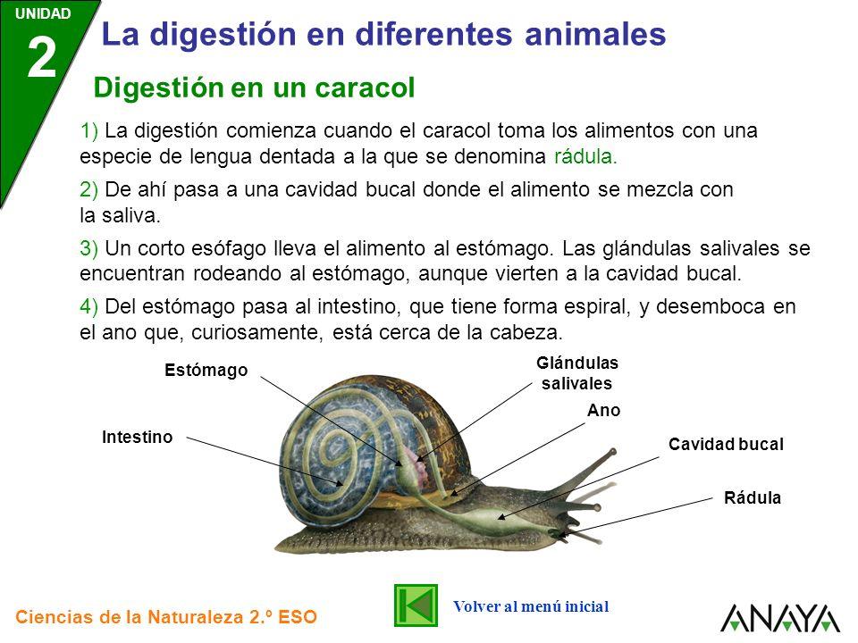 UNIDAD 2 La digestión en diferentes animales Ciencias de la Naturaleza 2.º ESO 1) La digestión comienza cuando el caracol toma los alimentos con una e