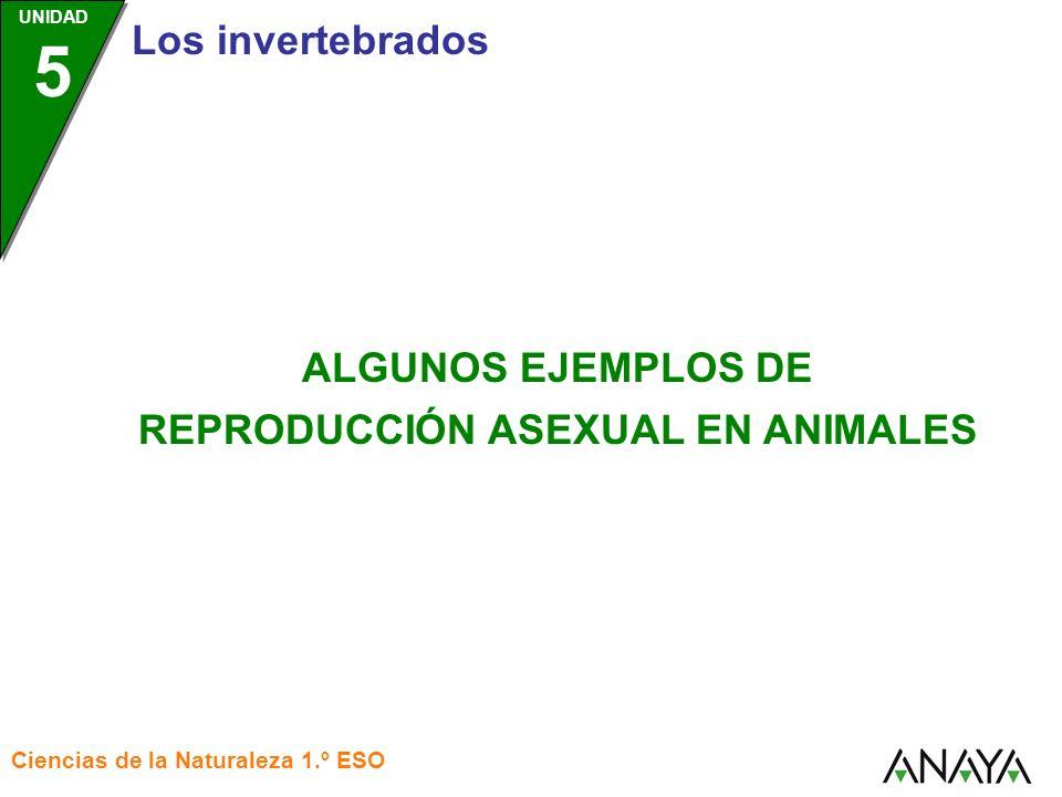 UNIDAD 5 Los invertebrados Ciencias de la Naturaleza 1.º ESO ALGUNOS EJEMPLOS DE REPRODUCCIÓN ASEXUAL EN ANIMALES