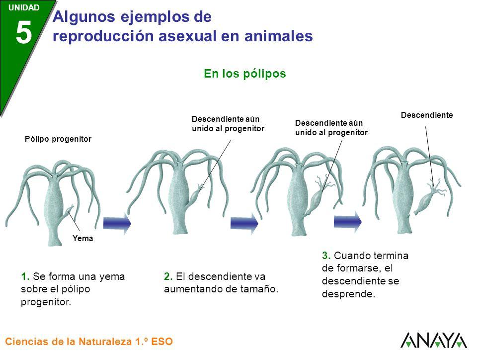 UNIDAD 3 Algunos ejemplos de reproducción asexual en animales Ciencias de la Naturaleza 1.º ESO UNIDAD 5 … con el tiempo, se regenera la estrella de mar completa.