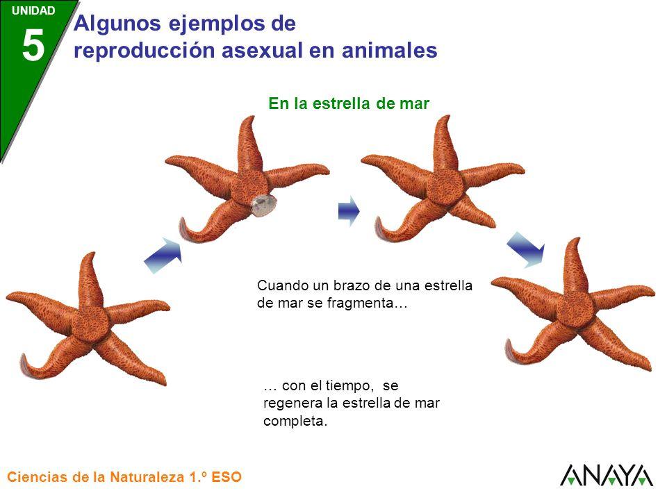 UNIDAD 3 Algunos ejemplos de reproducción asexual en animales Ciencias de la Naturaleza 1.º ESO UNIDAD 5 A partir del brazo fragmentado… … también se puede regenerar una nueva estrella, siempre que conserve algo del disco central de la estrella original.