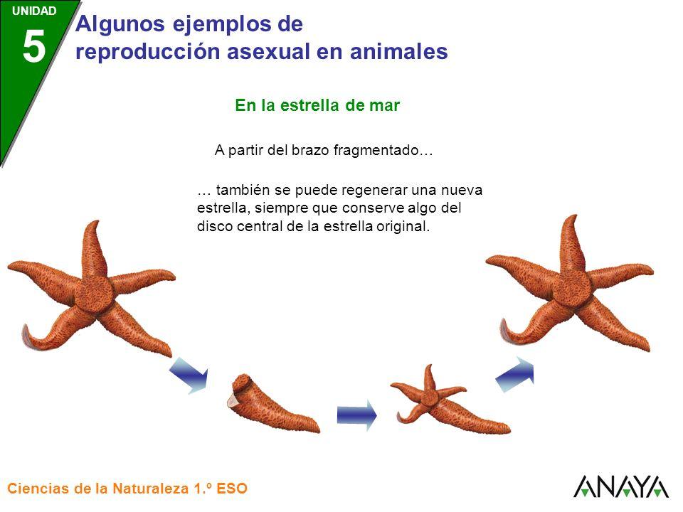 UNIDAD 3 Algunos ejemplos de reproducción asexual en animales Ciencias de la Naturaleza 1.º ESO UNIDAD 5 A partir del brazo fragmentado… … también se