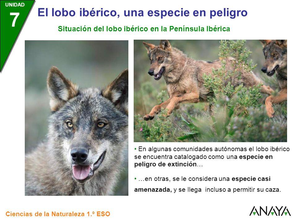 UNIDAD 3 Ciencias de la Naturaleza 1.º ESO UNIDAD 7 El lobo ibérico, una especie en peligro En algunas comunidades autónomas el lobo ibérico se encuen