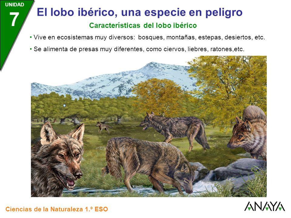 UNIDAD 3 Ciencias de la Naturaleza 1.º ESO UNIDAD 7 El lobo ibérico, una especie en peligro Factores que ponen en peligro al lobo ibérico En las áreas rurales, ante la escasez de presas para alimentarse, el lobo ataca al ganado….