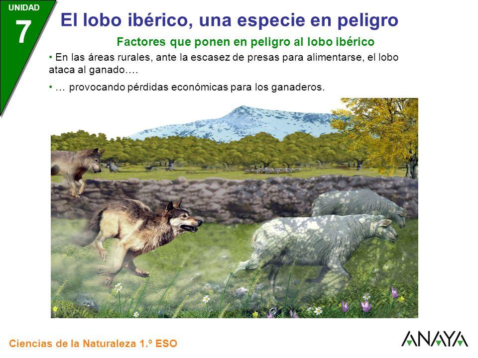 UNIDAD 3 Ciencias de la Naturaleza 1.º ESO UNIDAD 7 El lobo ibérico, una especie en peligro Factores que ponen en peligro al lobo ibérico Por tanto, los factores que ponen en peligro a la especie, son: El aumento de la caza furtiva.