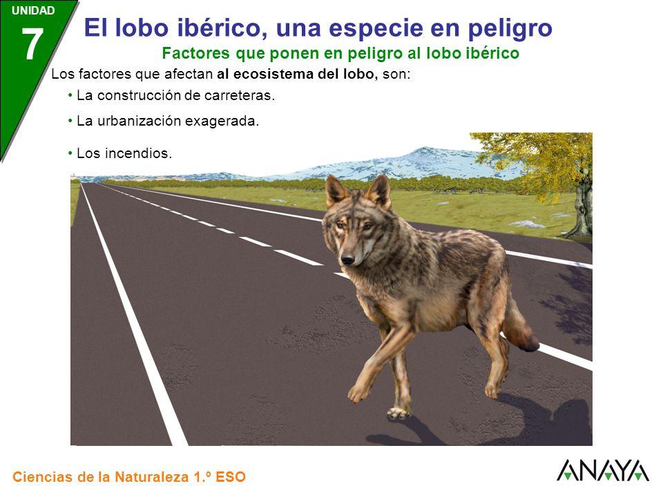 UNIDAD 3 Ciencias de la Naturaleza 1.º ESO UNIDAD 7 El lobo ibérico, una especie en peligro Algunas medidas para conservar al lobo ibérico Proteger su ecosistema.