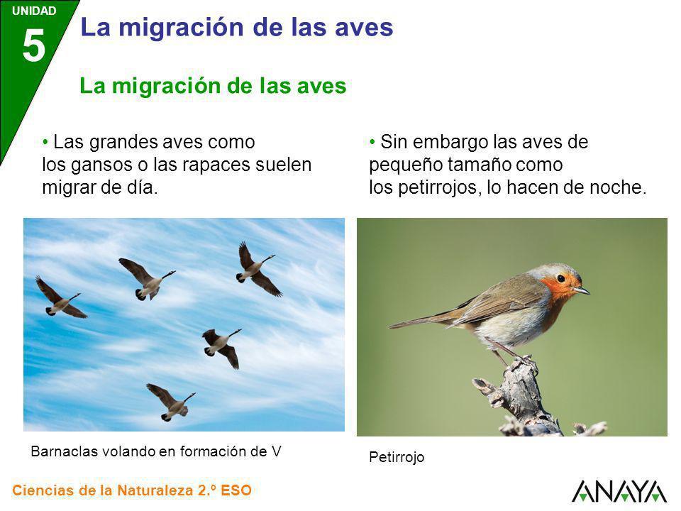 UNIDAD 5 Ciencias de la Naturaleza 2.º ESO Las grandes aves como los gansos o las rapaces suelen migrar de día. Barnaclas volando en formación de V La