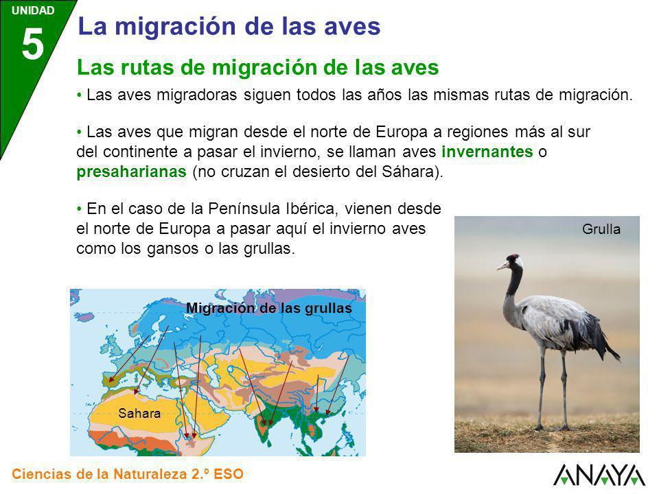 UNIDAD 5 Ciencias de la Naturaleza 2.º ESO Las rutas de migración de las aves Las aves migradoras siguen todos las años las mismas rutas de migración.